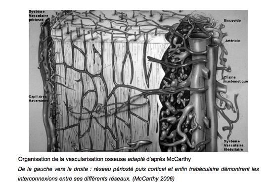 Organization of the bone vascularization